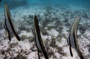long fin batfish Platax Teira