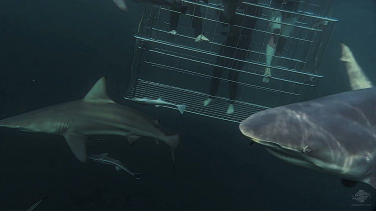 Blacktip Shark Eyes