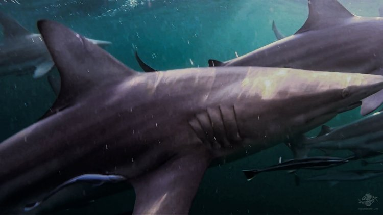 Blacktip Shark Speed