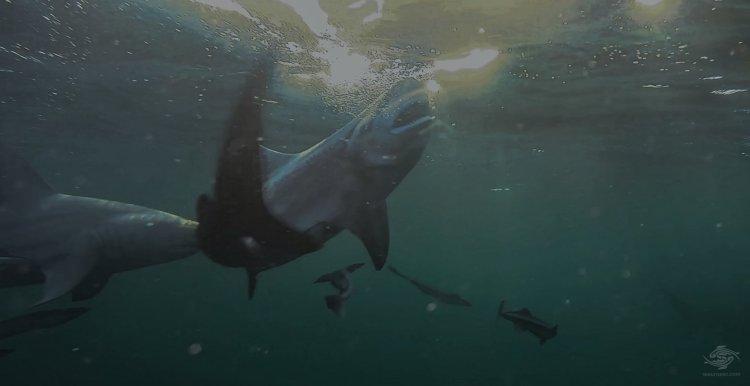 Blacktip Shark Teeth