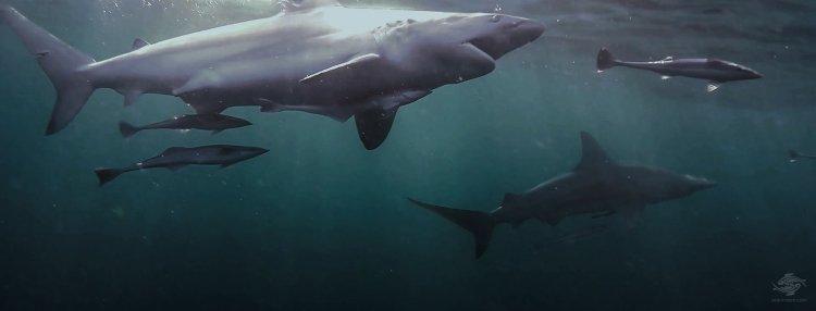 Blacktip Sharks Feeding
