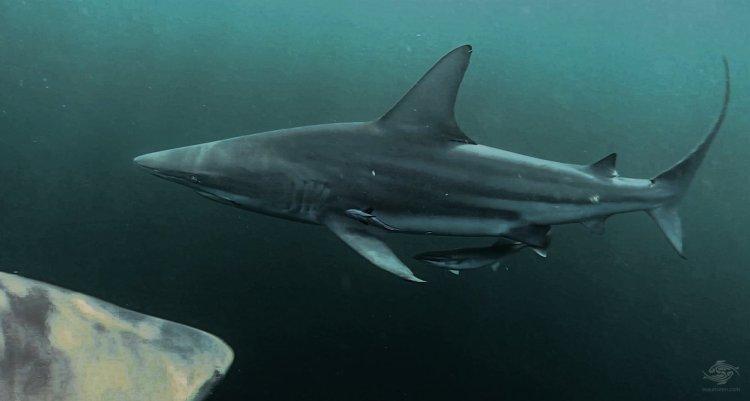 Blacktipped Sharks