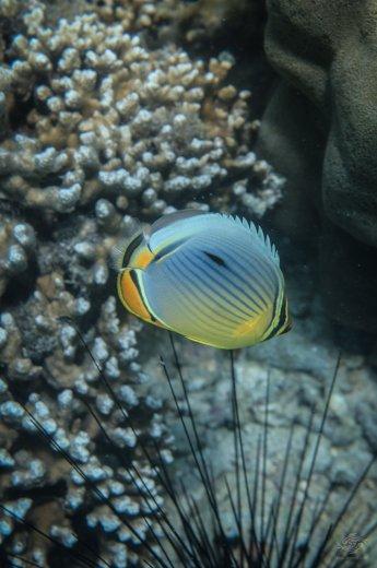 A melon butterflyfish (Chaetodon Trifaciatus) on a coral reef