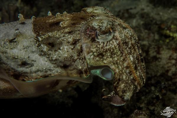 Sepia latimanus, also known as the broadclub cuttlefish