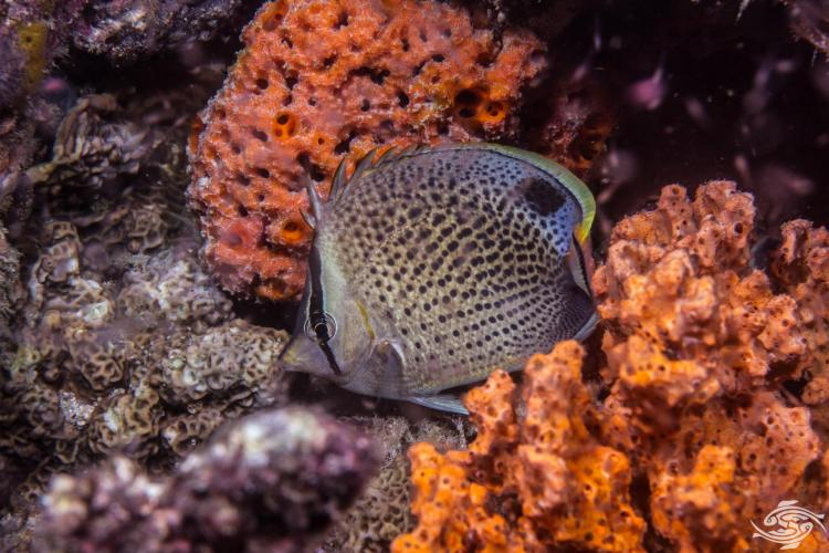 peppered butterflyfish, Chaetodon guttatissimus also known as the spotted butterflyfish, pebbled butterflyfish and as the gorgeous gussy