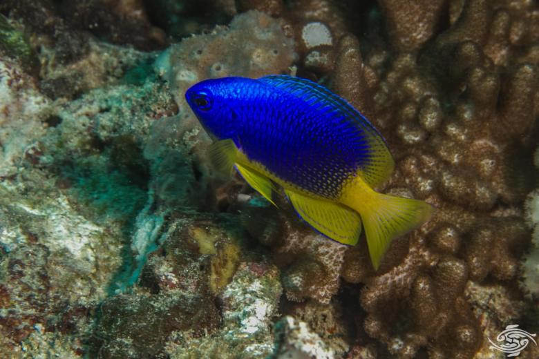 caerulean damsel fish (Pomacentrus caeruleus)