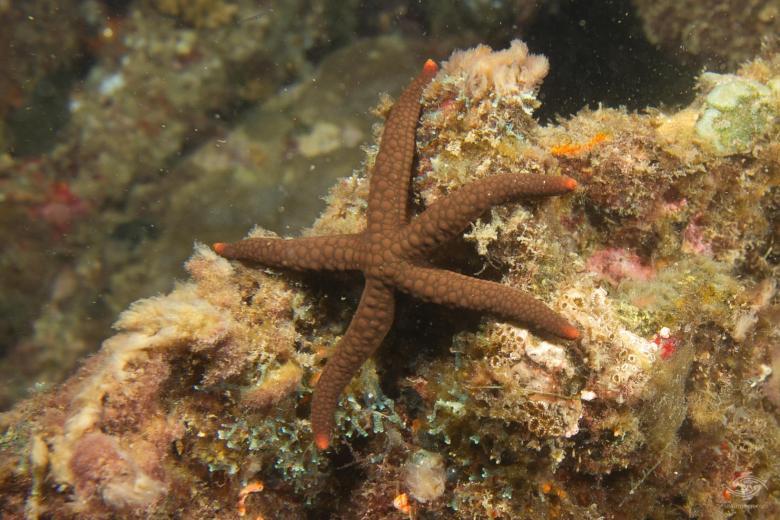 Granular Starfish Austrofromia schultzei