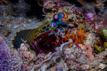 mantis shrimp.
