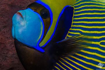 emperor angelfish Pomacanthus imperator also known as the imperator