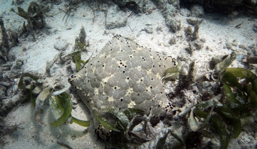 Pin Cushion Starfish (Culcila Schmideliana)