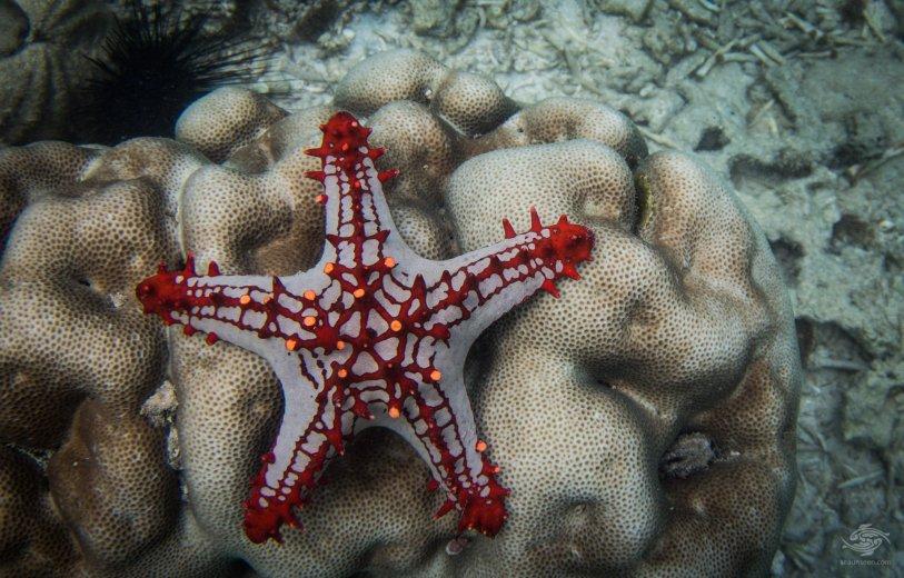 Protoreaster Lincki Starfish