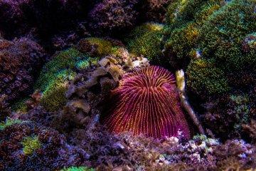 Mushroom Coral