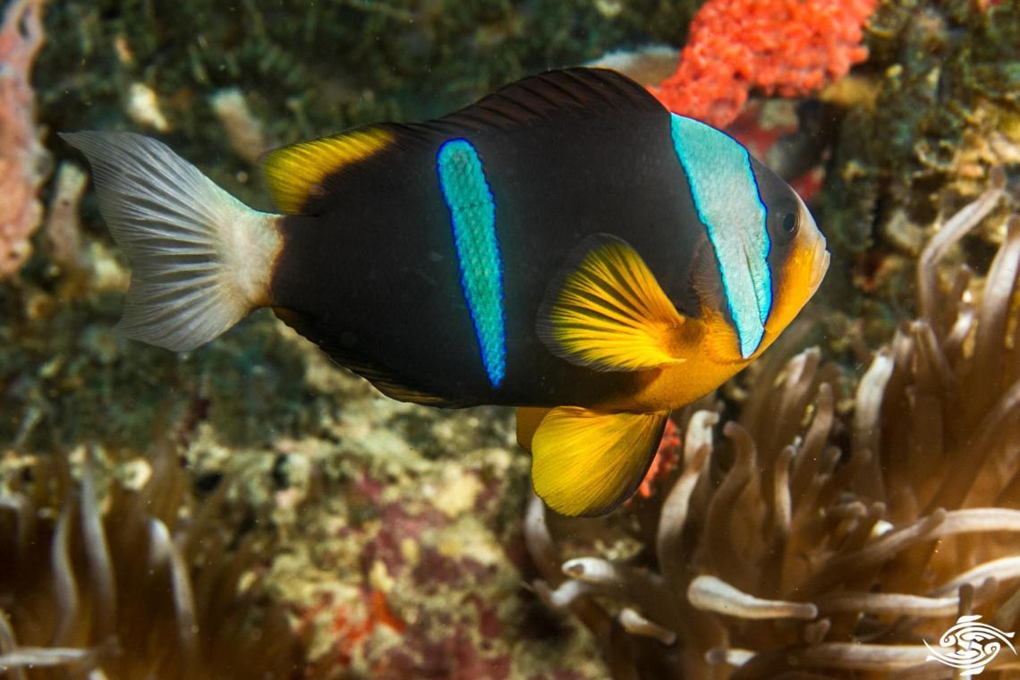 allard's clownfish (Amphiprion allardi),