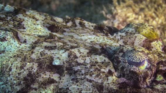 Crocodilefish