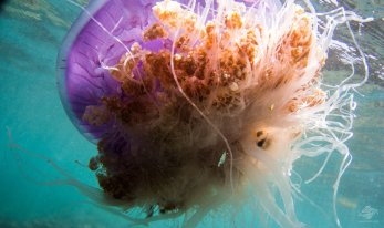 Crowned Jellyfish