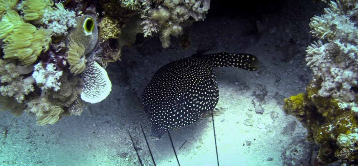 white spotted boxfish (Ostracion meleagris)