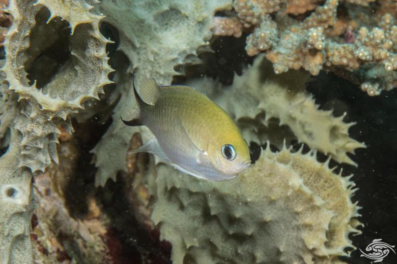 Ternate Damselfish (Amblyglyphidodon ternatensis)