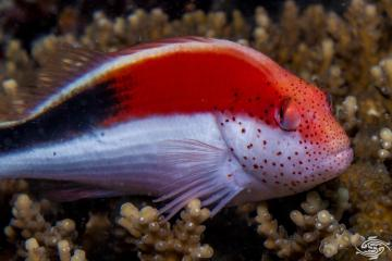 freckled hawkfish(Paracirrhites forsteri),also known as theforster's hawkfish,