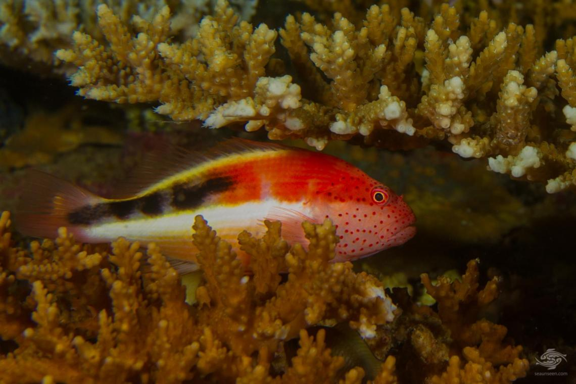 he freckled hawkfish (Paracirrhites forsteri), also known as the forster's hawkfish, has a habit of sitting in strategic raised spots on the reef, with its head sticking upwards