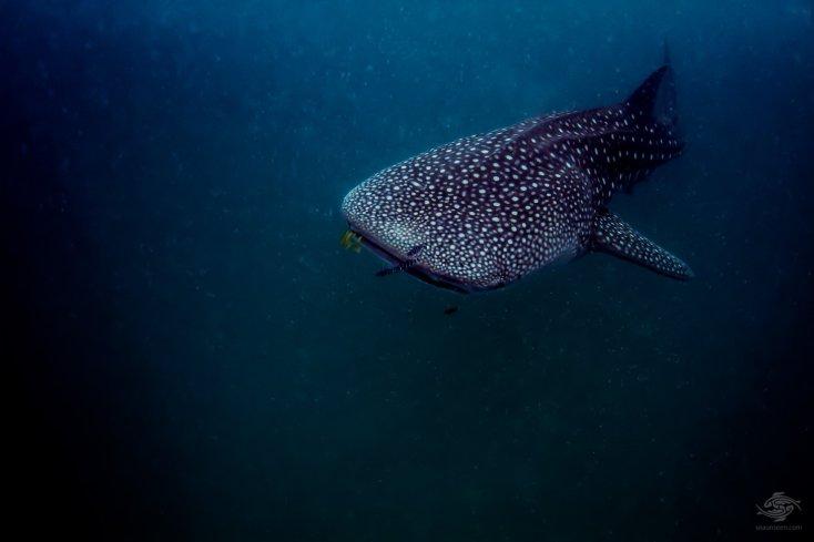Whale shark off the coast of Mafia Island