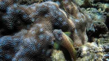 Leopard blenny on coral reef