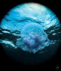 Jellyfish ascending to the surface