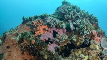Spotted hawkfish among corals