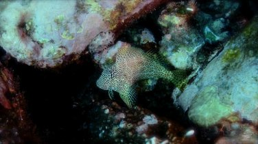 Leapord Blenny