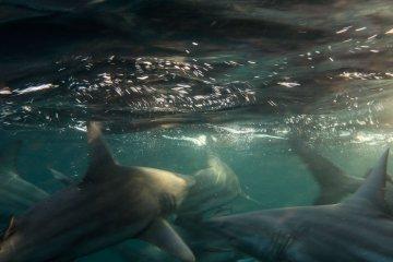 sharks aliwal shoal