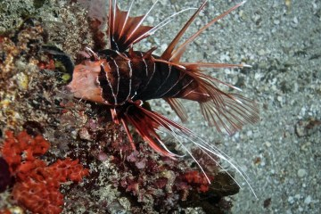 Clearfin Lionfish (Pterois radiata)
