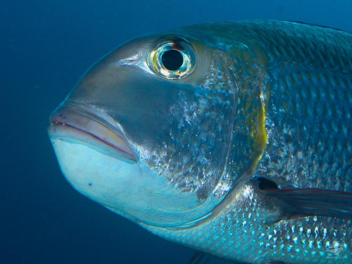 A humpnose big eye bream, Monotaxis Grandoculis in mafia Island Marine Park diving tanzania