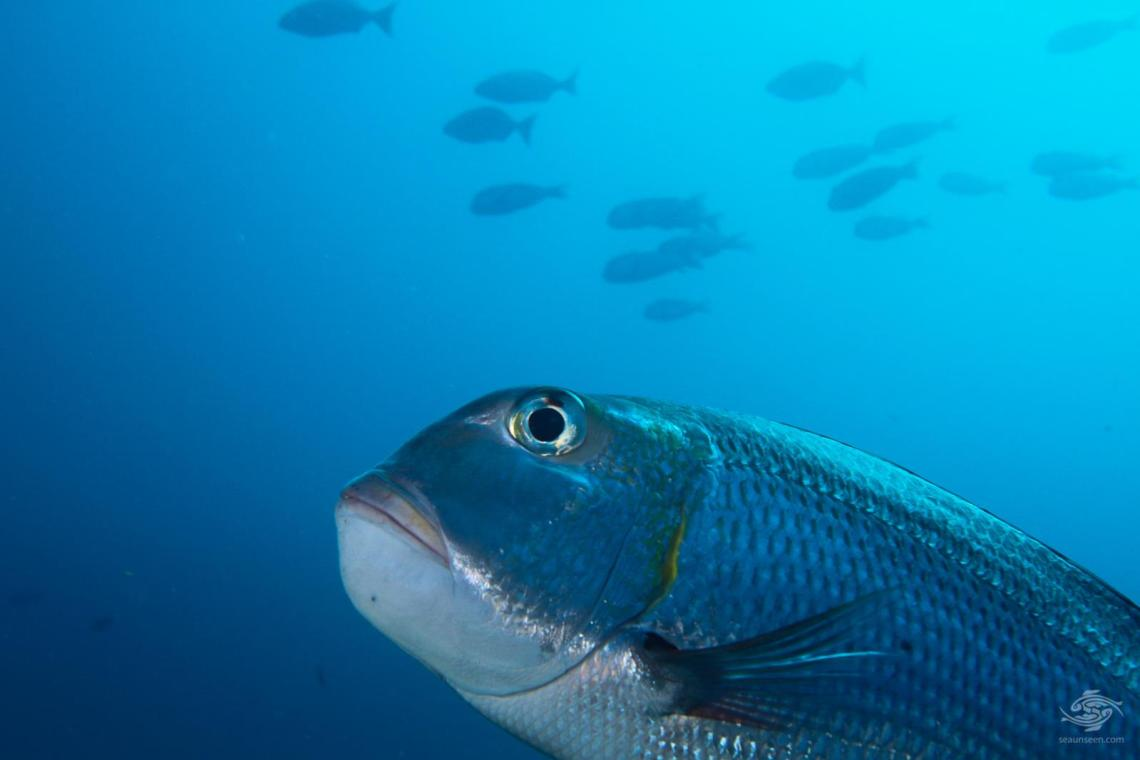 A humpnose big eye bream, Monotaxis Grandoculis with a large shoal in the background in mafia Island Marine Park