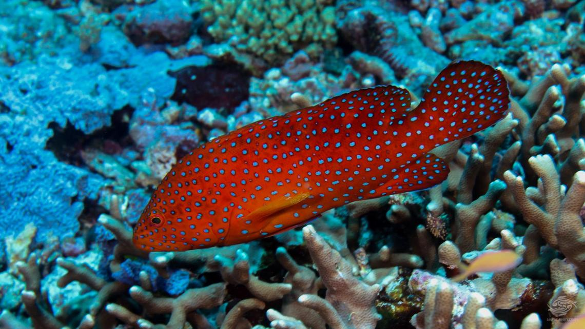 Coral rock cod in mafia island marine park diving tanzania