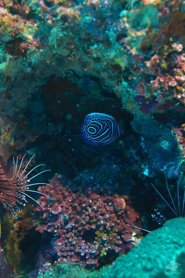 A juvenile emperor angelfish, Pomecanthus Imperator