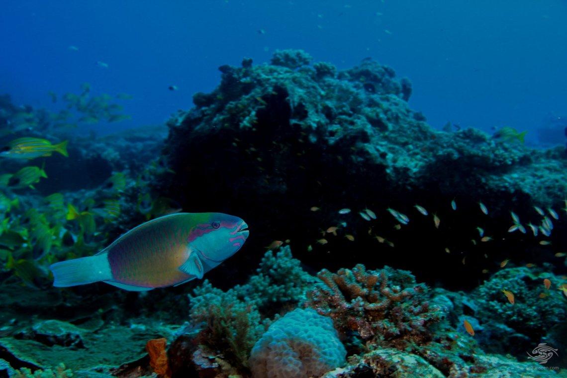 Bridled parrot fish Mikadini reef outer Mafia Island Tanzania dive sites