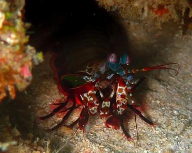 A peacock mantis shrimp, Odontodactylus scyllarus
