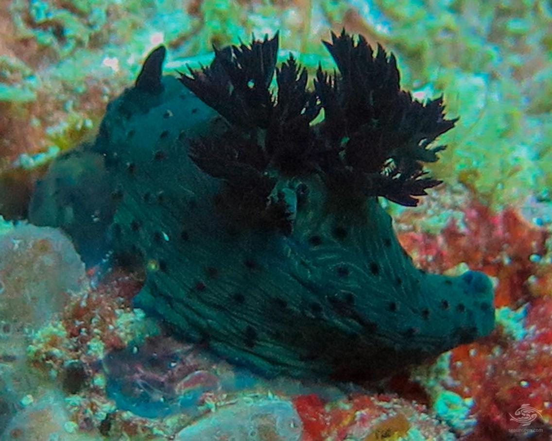 A nudibranch probably from the Polyceridae family