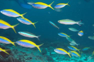 A shoal of yellow back fusiliers on the reef at Powoni near Paje in Zanzibar