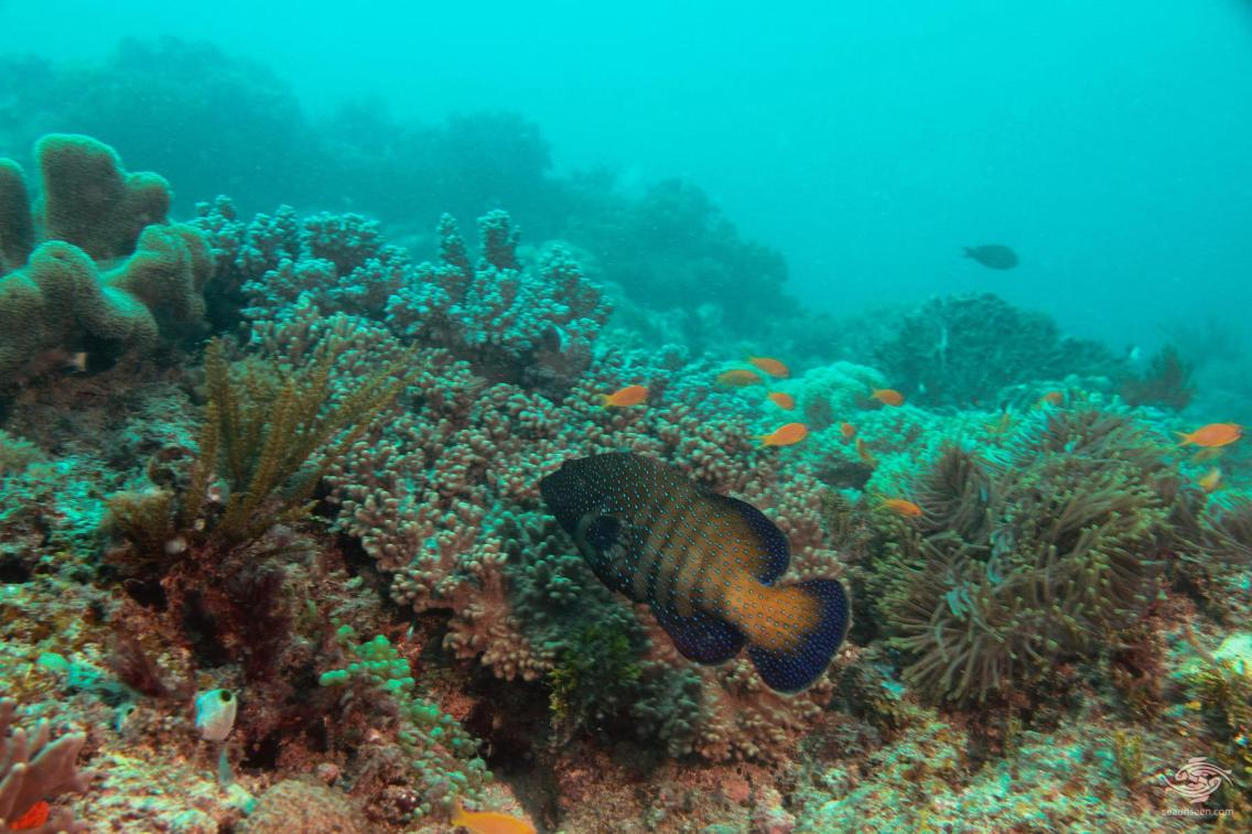 A peacock rock cod on the reef at Powoni near Paje in Zanzibar