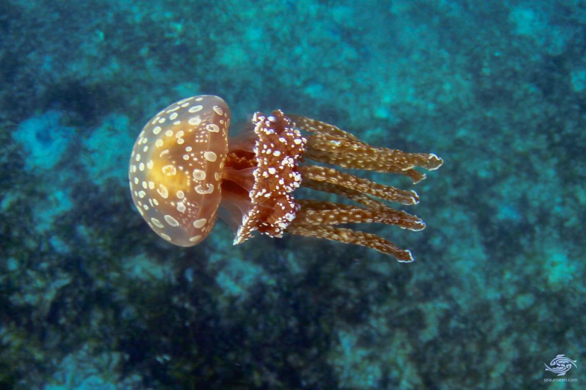 Jellyfish or Sea Jellies A spotted jelly photographed off the coast of mafia island tanzania