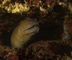 Moray eel Bongoyo Patch Da es Salaam Diving Tanzania