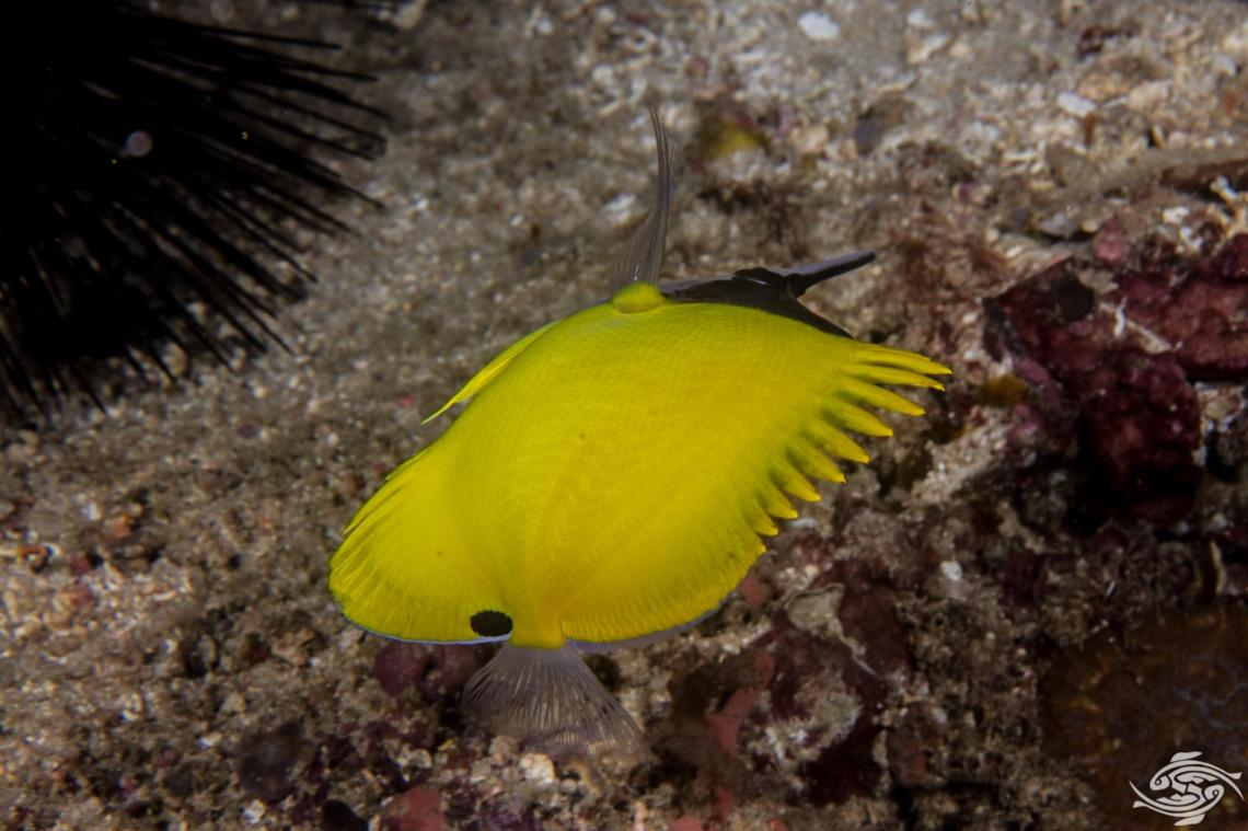 yellow long nose butterflyfish or forceps butterflyfish, Forcipiger flavissimus,