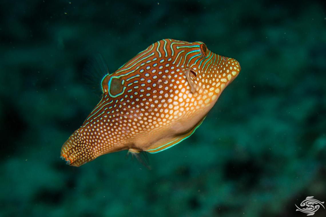 Canthigaster solandri is also known as the ocellated toby, blue spotted toby, jewel pufferfish, solanders toby and spotted sharpnose puffer
