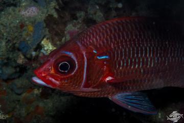 tailspot squirrelfish Sargocentron caudimaculatum, is also known as the whitetail squirrelfish or silverspot squirrelfish
