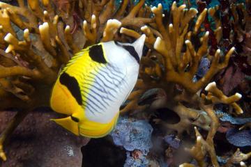 Blackwedged butterflyfish Chaetodon falcula