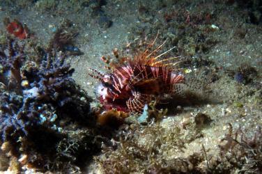 A dwarf lion fish at nudi city