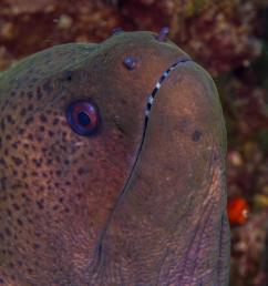 giant moray eel facts and photographs seaunseen jpg 2000x1334 giant moray eel diagram [ 2000 x 1334 Pixel ]