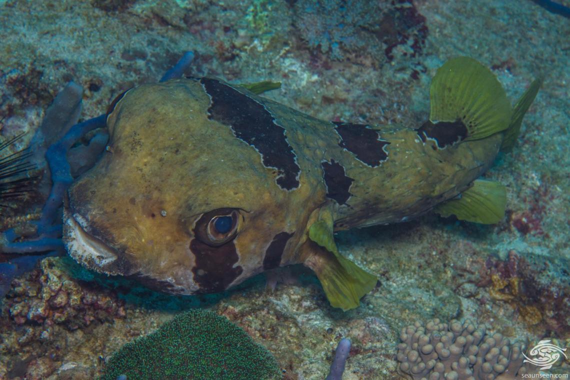 short spine porcupinefish (Diodon liturosus) also known as the black-blotched porcupinefish