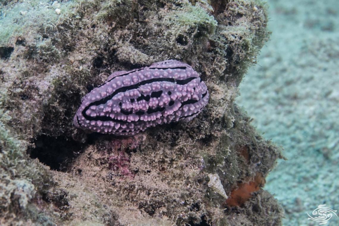 Phyllidiella zeylanica known as the Ceylon Phyllidiella