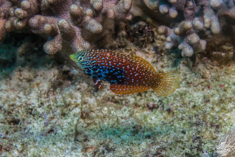Divided Leopard Wrasse (Macropharyngodon bipartitus) also known as Vermiculate Leopard Wrasse, African Leopard Wrasse.